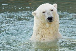Умерла 33-летняя белая медведица Услада — символ Ленинградского зоопарка. Восемь кадров из ее долгой жизни
