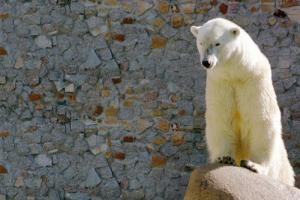 В Ленинградском зоопарке умерла белая медведица Услада. Ей было 33 года, она считалась одной из старейших представительниц вида