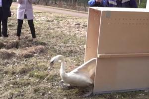 К лебедю Георгию из Гатчинского парка привезли новую пару. Его бывшую подругу загрыз бродячий пес два года назад