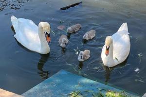 У петербургских лебедей Афины и Персея вылупились птенцы. Родители оберегают их и шипят на тех, кто подходит слишком близко 🦢