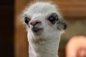 В Ленинградском зоопарке показали новорожденную альпаку Шарлотку. Она бегает за родителями — Сушкой и Брецелем 🦙