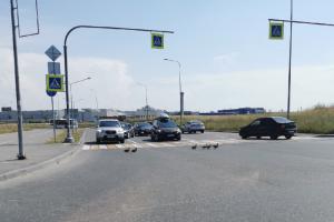 «ПДД — они для всех». Очевидцы показали, как утки пересекают дорогу по пешеходному переходу 😍🦆