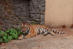 В Ленинградском зоопарке появилась тигрица Виола. Она уже нашла друга и переговаривается с ним через стенку 🐯