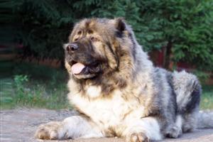 В России хотят штрафовать за выгул без намордника «потенциально опасных» пород собак. Но формально некоторых из них нет, писала «Би-Би-Си»